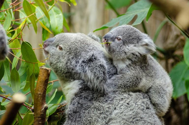 Koalas   © Mathias Appel / Flickr