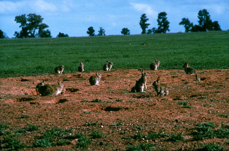 European rabbit in Australia | © CSIRO / WikiCommons
