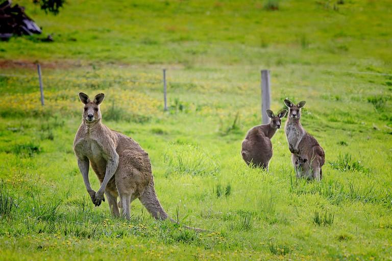 Kangaroos   © Holgi / Pixabay