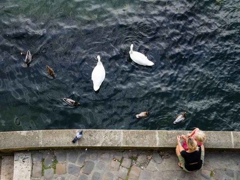 Swans near l'Île Saint-Louis © Jonathan Petit/Flickr