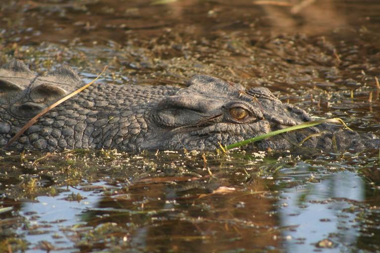 Saltwater Crocodile | © Stephen Michael Barnett / Flickr