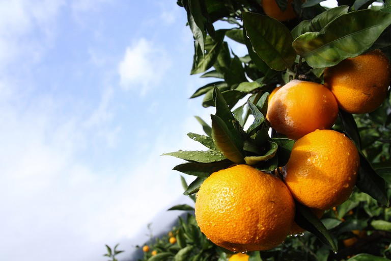 Mikan growing in an orchard | © skyseeker/Flickr