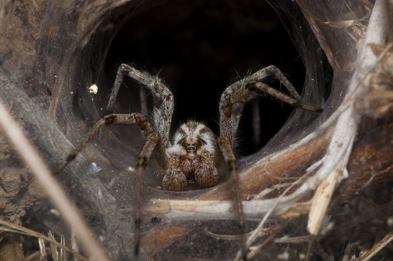 Funnel Web Spider | © nick ta / Flickr