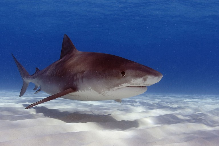 Tiger shark | © Oregon State University / Flickr