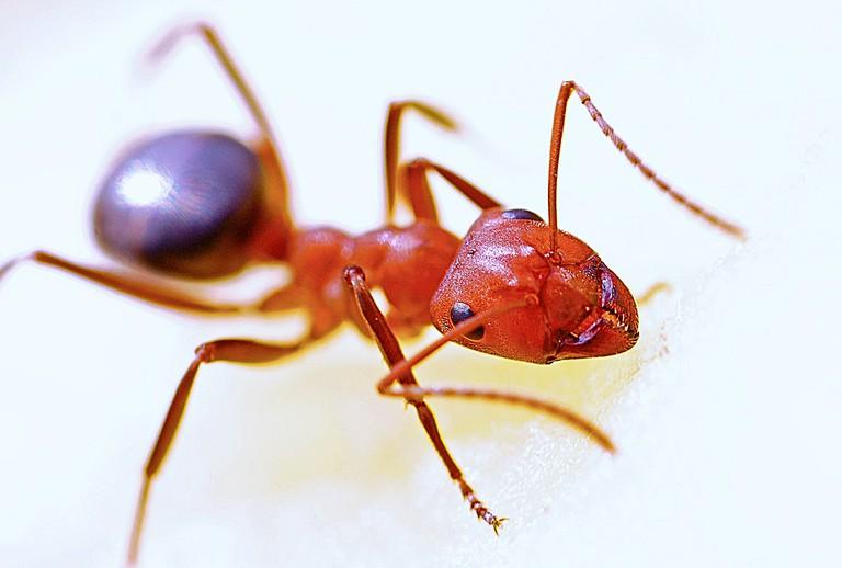 Red Ant/Courtesy of Pixabay