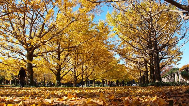 Koyo at its finest in Showa Memorial Park | © coniferconifer/WikiCommons