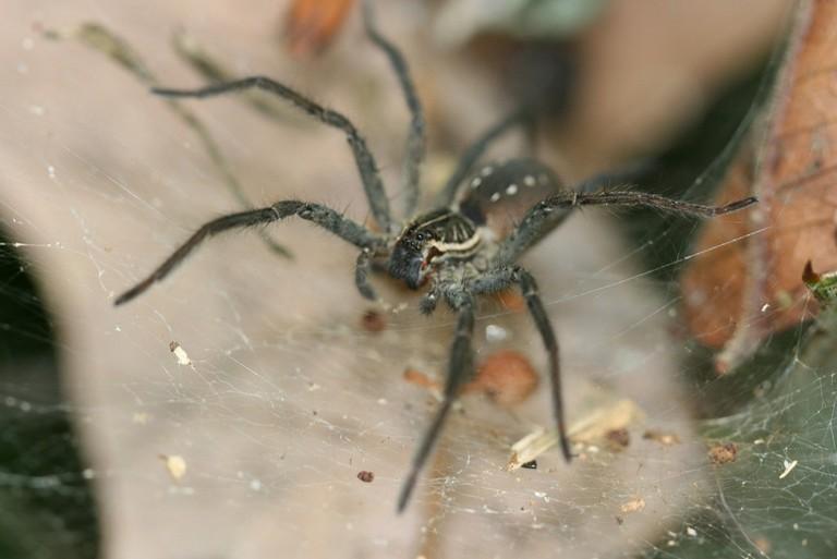 Funnel-Web Spider | © dinesh rao / Flickr