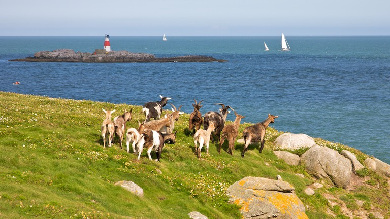 Goats at Dalkey Island with Muglins Rock in the background| ©John Fahy/WikiCommons