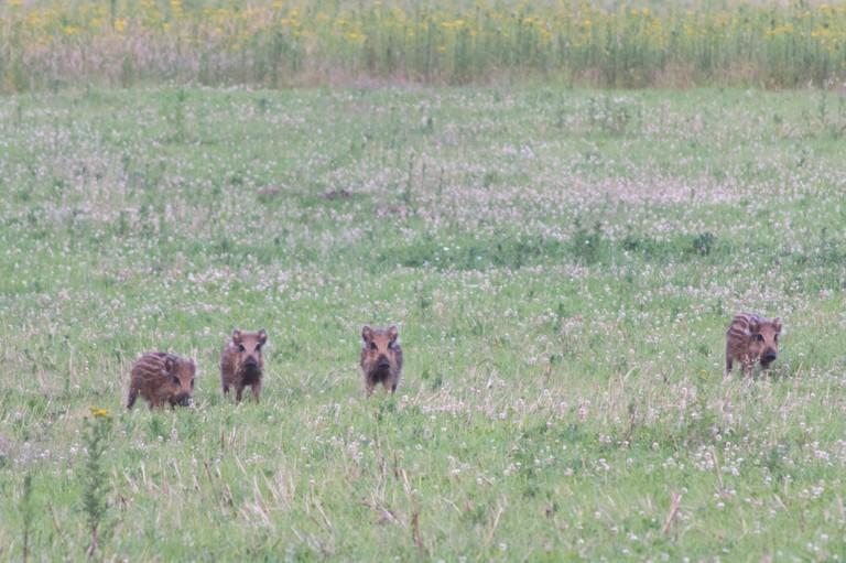 Wild boar in de Veluwe   © Supercarwaar/ Wikicommons
