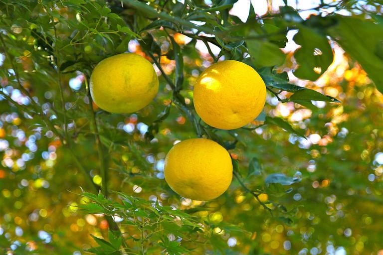 Yuzu orange | © Nikita/WikiCommons