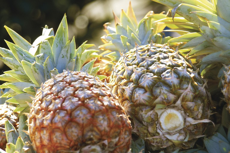 Fresh Pineapple   Courtesy of Tourism and Events Queensland