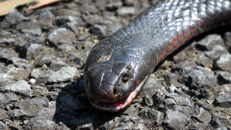 Red-bellied black snake | © John Tann/Flickr