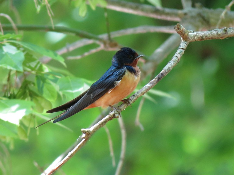 Barn Swallow in Rock Creek | ©Katja Schulz