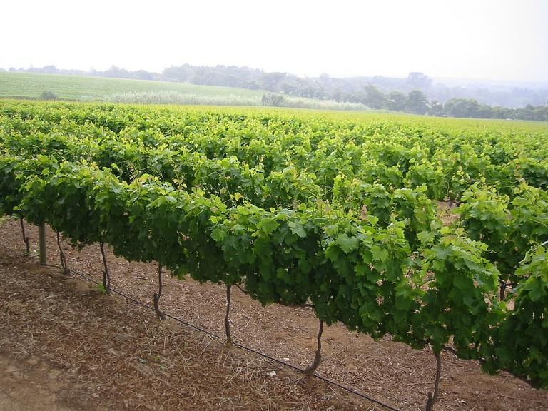 Groot Constantia vineyard © Tjeerd Wiersma/Flickr