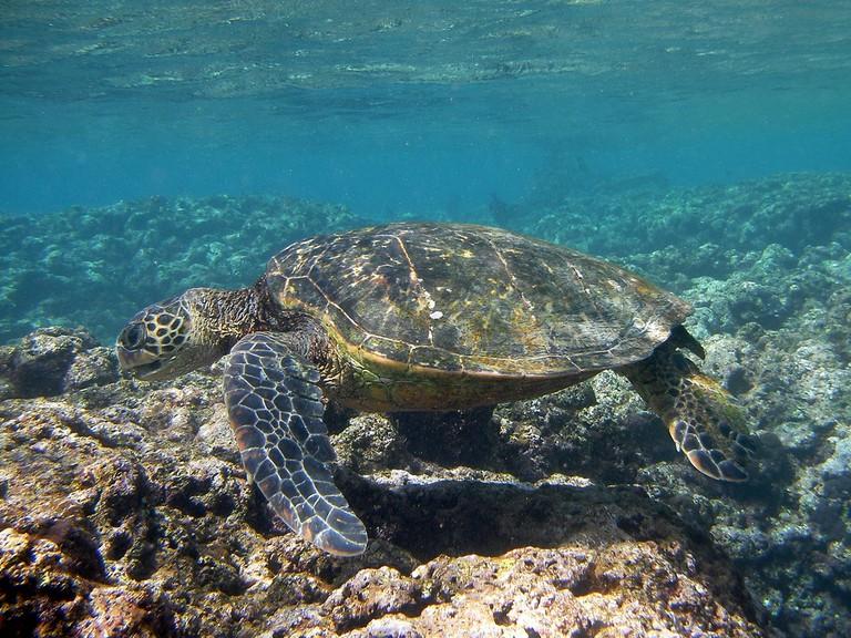Sea turtle |© deeje/Flickr