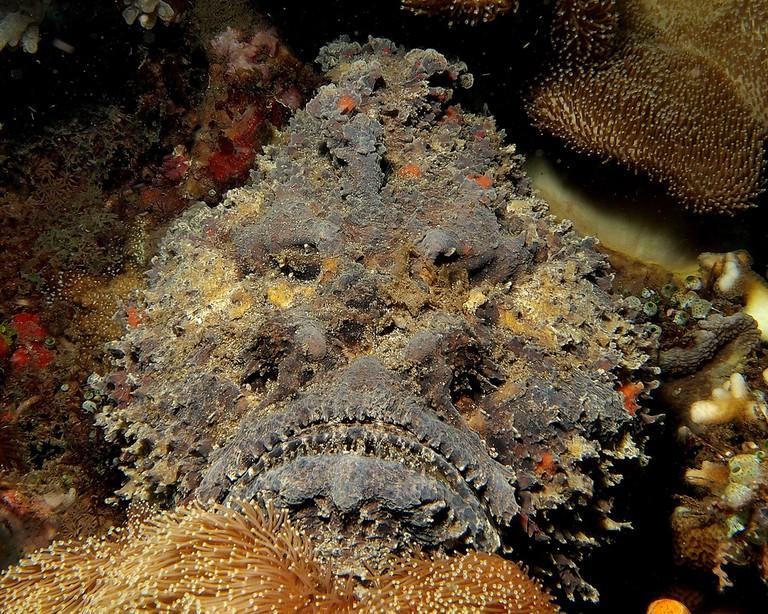Stonefish | © Steve Childs / Flickr
