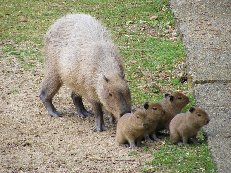Mum Cabybaras and her babies |© Marie Hale/Flickr