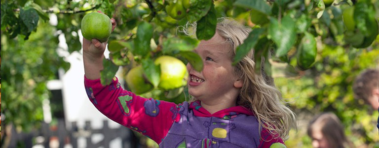Child looking at apples at Hezlett House ©National Trust Images John Millar