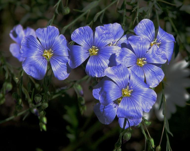 Flax Flowers   © D. Gordon E. Robertson/WikiCommons