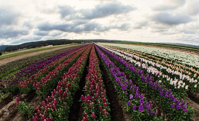 Lompoc Flower Fields   © Anita Ritenour/Flickr