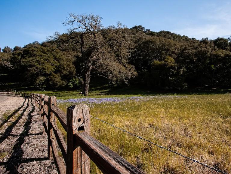Foxen Canyon Lupine_1   © Anita Ritenour/Flickr