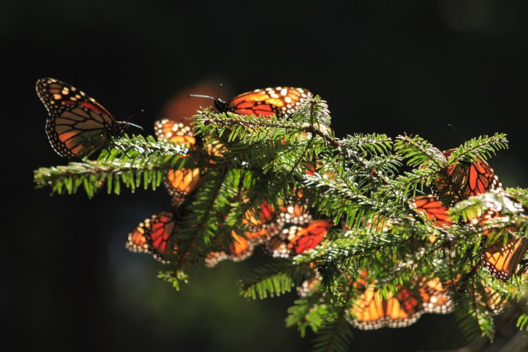 Monarchs on a tree branch | © Michelle Tribe/Flickr