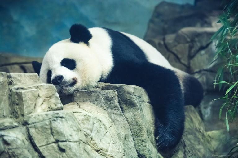 Mei Xiang, DC Resident | © Dan G/Flickr