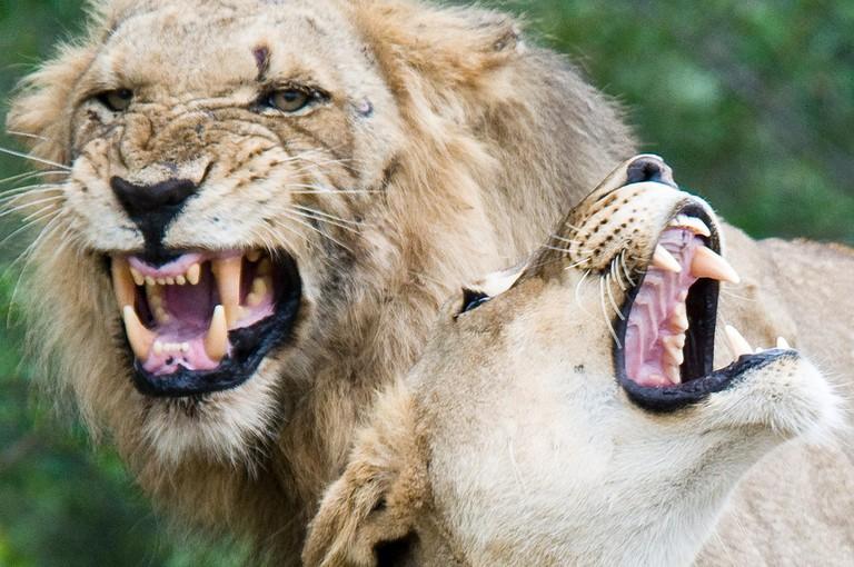 Lions, Mpumalanga © Chris Eason / Flickr