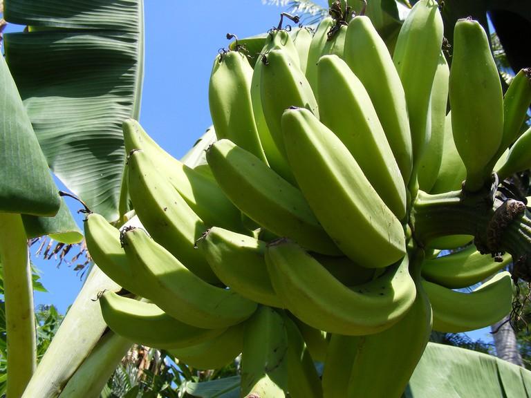 Bananas growing |© librarianidol/Flickr