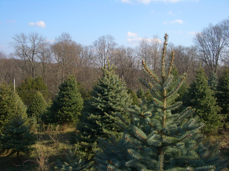 Christmas trees│ © Seth Werkheiser/Flickr