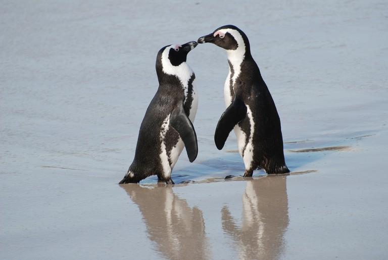 African penguins © Paul Mannix/Flickr