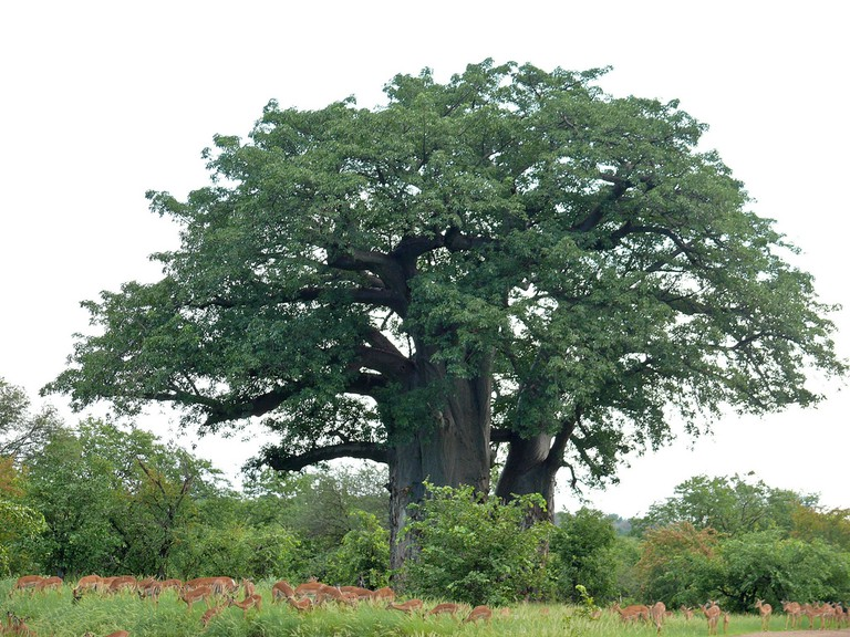 Baobab tree, Kruger National Park, South Africa © Bernard du Pont / Flickr