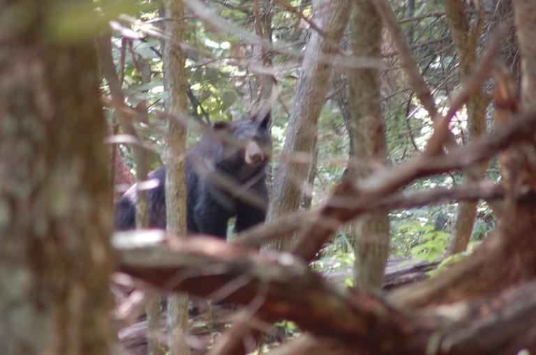 Black Bear In Shenandoah | © A. Drauglis/Flickr