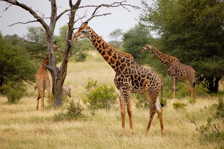 Giraffes at the Kruger National Park © Bowkerb/Flickr