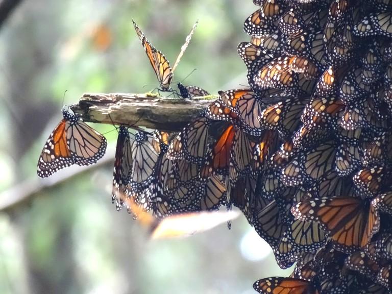 Monarch butterflies in Valle del Bravo | © Adam Jones/Flickr