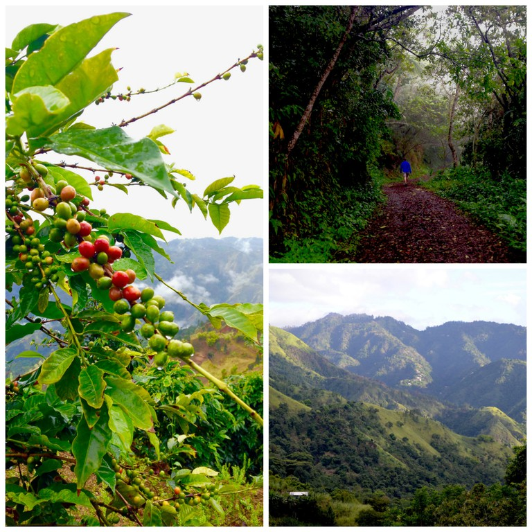 Catherine's Peak hiking trail and Blue Mountain coffee views  Courtesy of Caribbean Cables