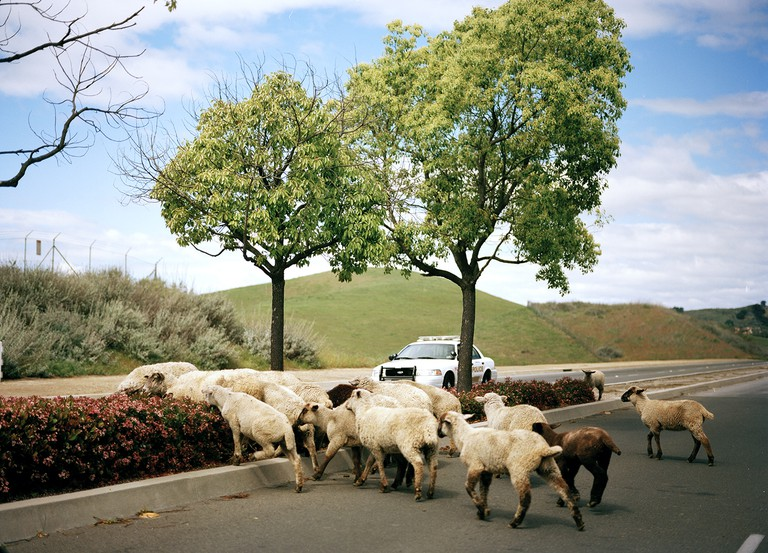 Sheep | © Damon Casarez