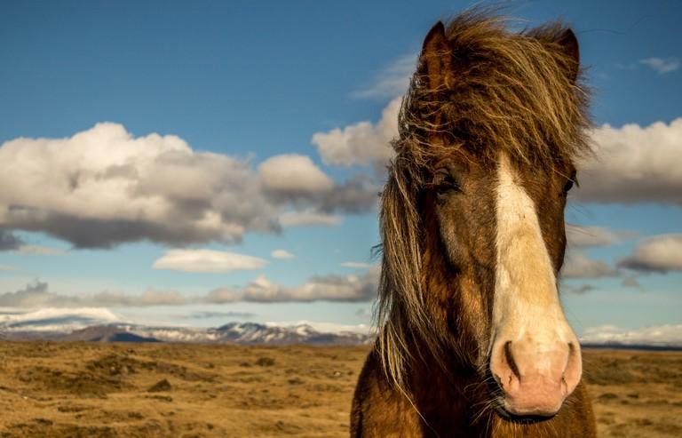 Icelandic Horse © pbouillot/Pixabay