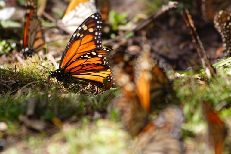 Monarch butterflies | © Michelle Tribe/Flickr