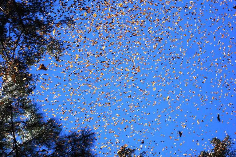 Monarch migration | © Luna sin estrellas/Flickr