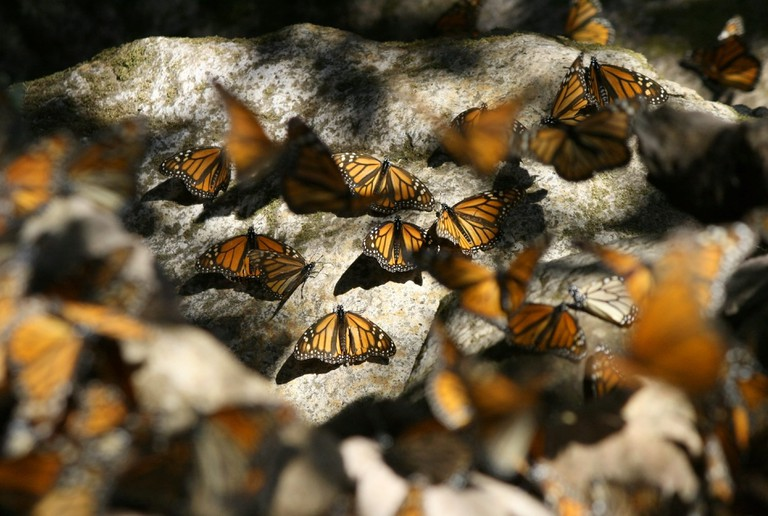 Monarchs on the rocks | © pendons proditor/Flickr