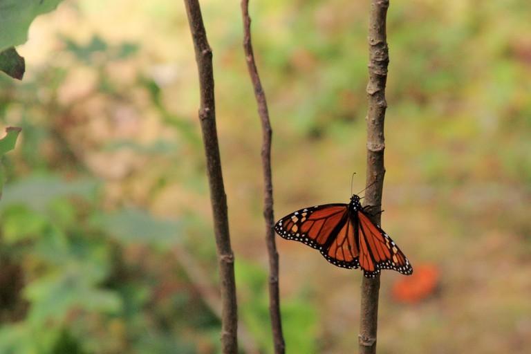Lone monarch | © strudelt/Flickr