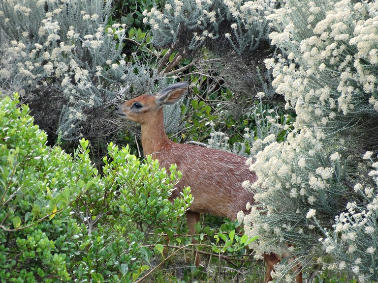 Cape Grysbok © 6000.co.za/Flickr