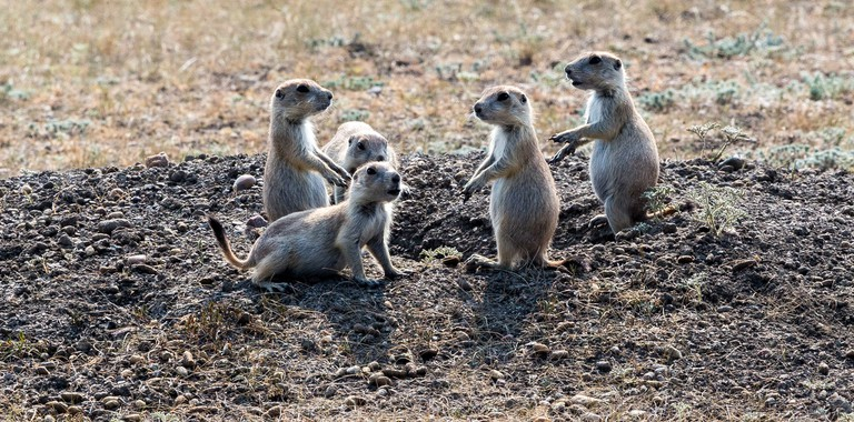 Prairie Dog | © Tupulak/Flickr