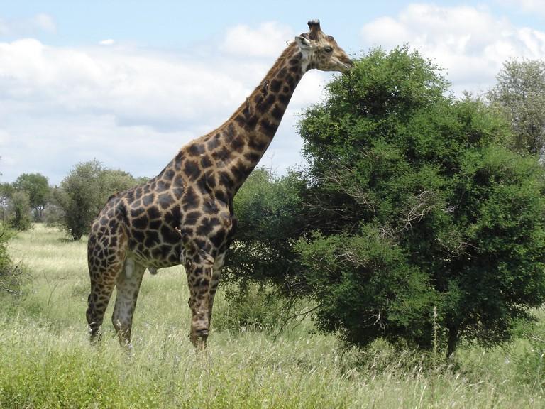 Giraffe © Sergio Del Piccolo/Flickr