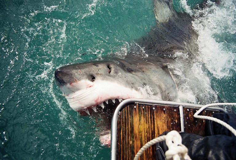 Great White Shark © Bellamy.Andrew/Flickr