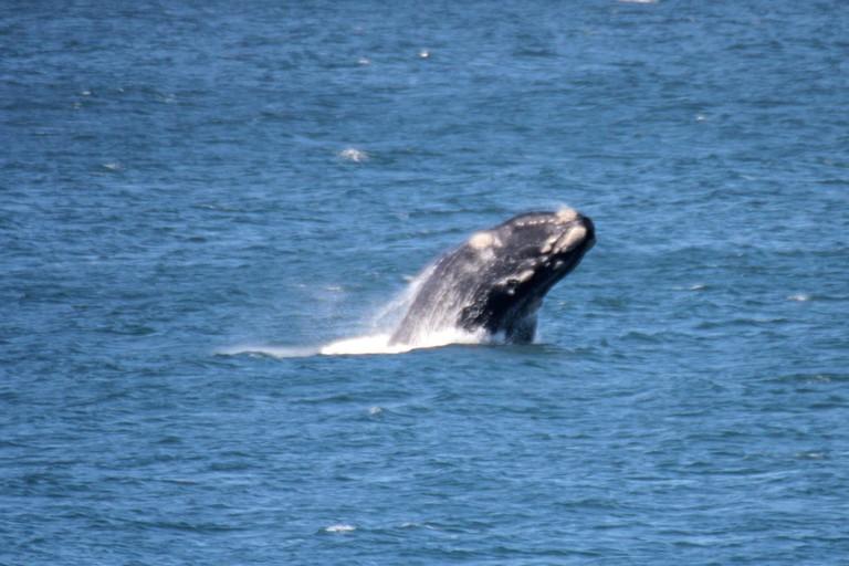 A Southern Right Whale breaches in Walker Bay, Hermanus © Ross Huggett/Flickr