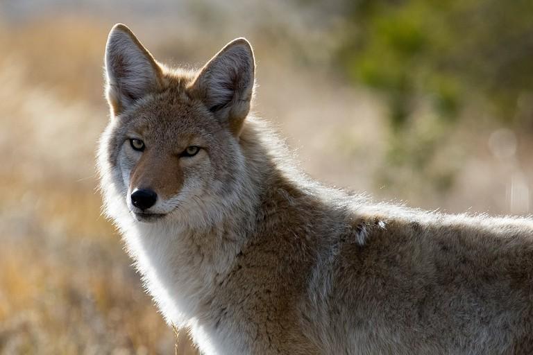 Coyote | © Pixabay