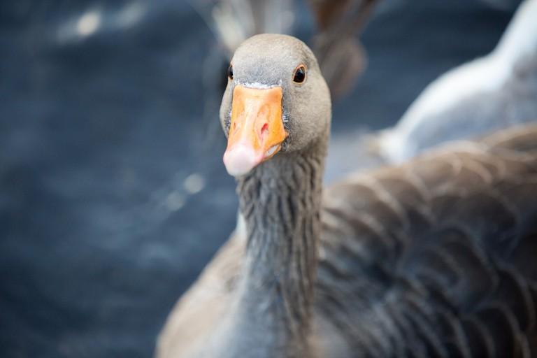 Goose   public domain pictures