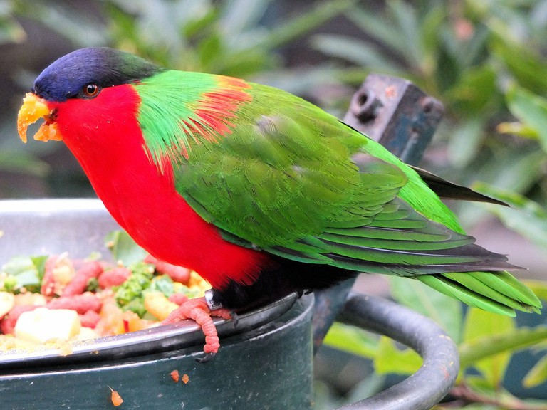 Collared Lory | © Keith Roper / Flickr